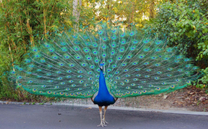 peacock pic